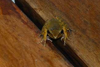 Frosk-liten
