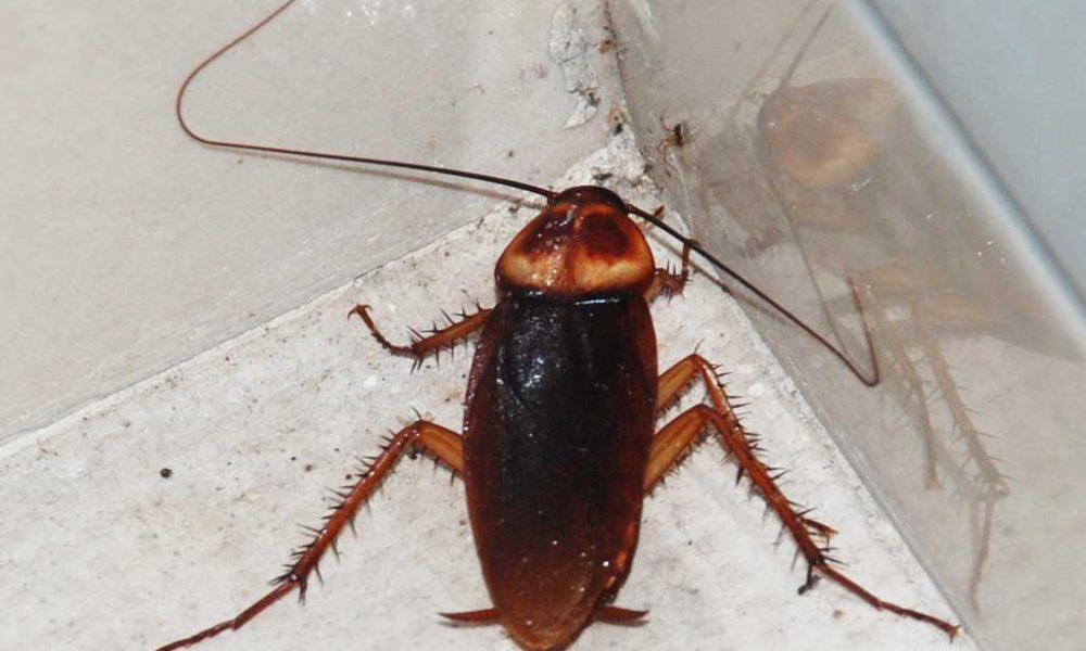 Hvordan bli venn med en kakerlakk